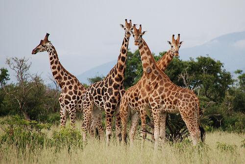 zürafaların özellikleri ne yerler nerede yaşarlar
